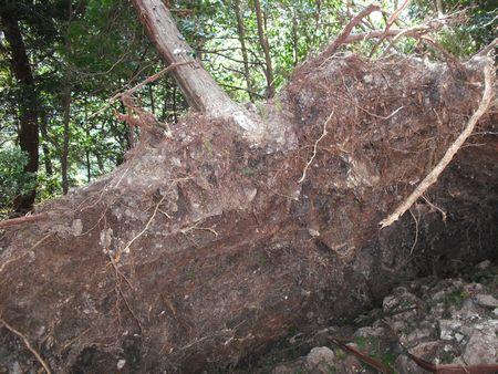 鳳来寺倒木